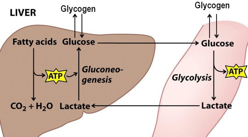 Where is glycogen stored in the body