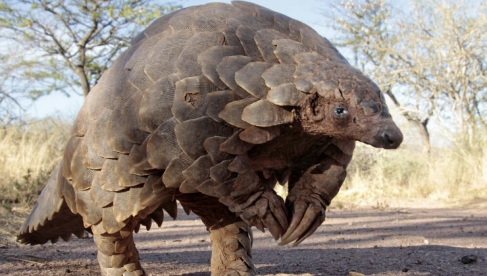 What and Where is Pangolins