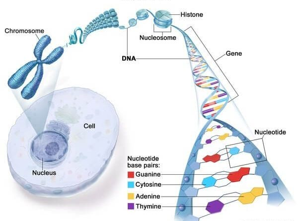 Where is DNA found in a human cell